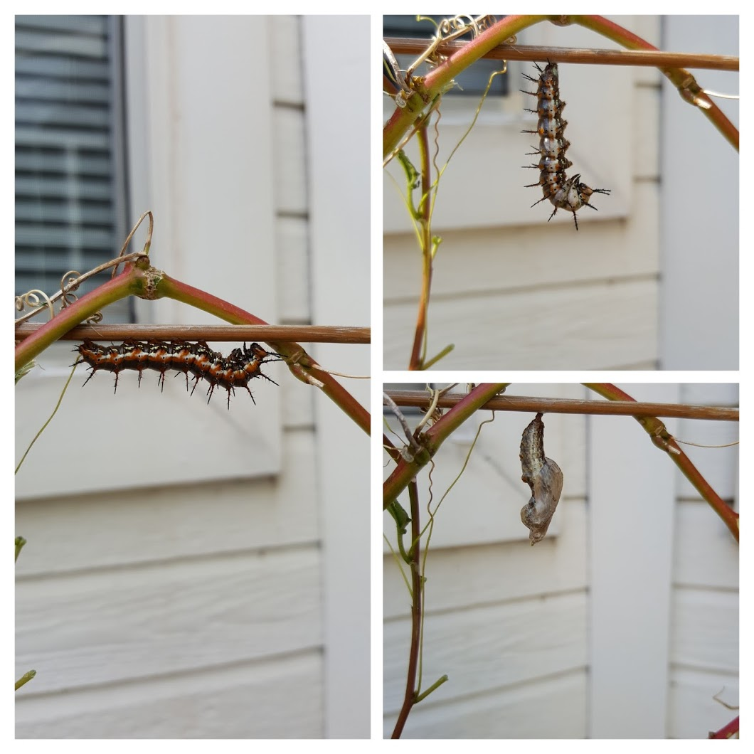 caterpillar to pupa collage