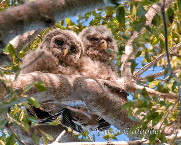 barred-owl-chicks4-069.jpg
