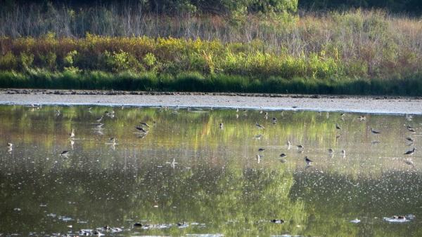 shorebirdsSamHouston.JPG